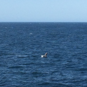 Cheeky whale tail! Apologises I was too excited to get photos of mumma and calf.